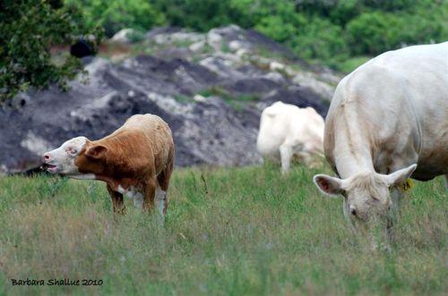 Cows 6 (Medium)