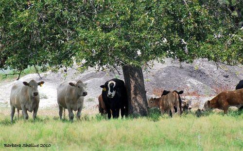 Cows 4 (Medium)