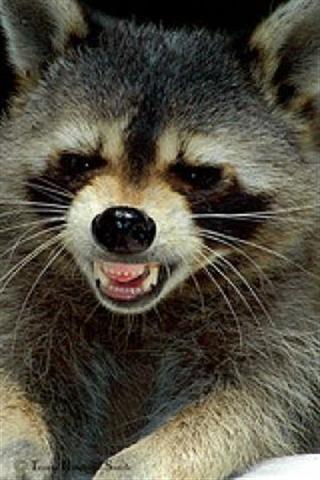 Raccoon (Small)