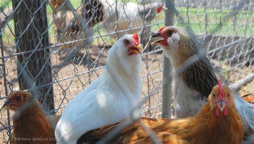 Chickens (Medium)