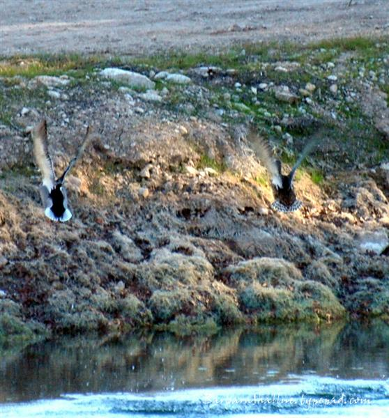 DSC_0081ducks cropped (Medium)