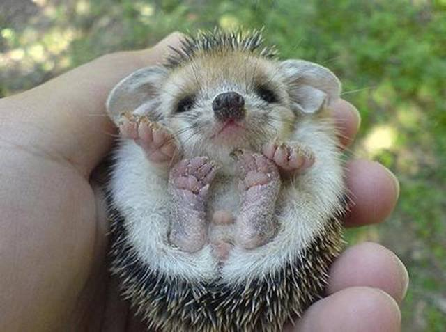 Baby porcupine or hedgehog