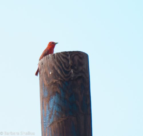 Scarlet tanager-0022-2