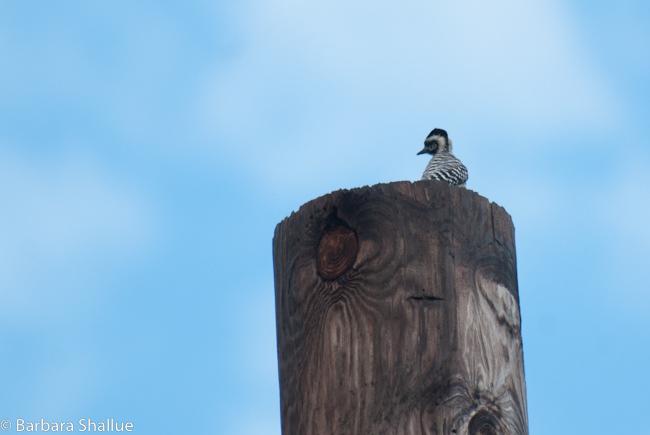 Woodpecker-0422