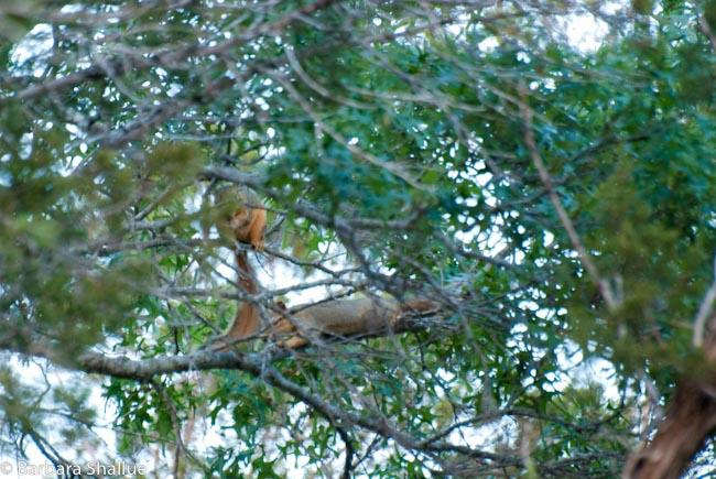 Squirrels-0129