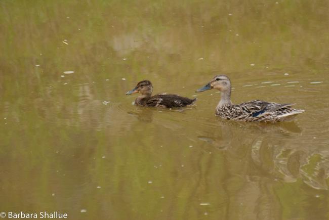 Ducks-0210