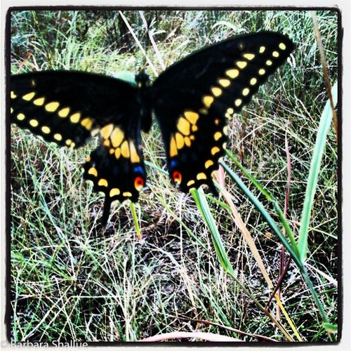 Butterfly iphone-0398