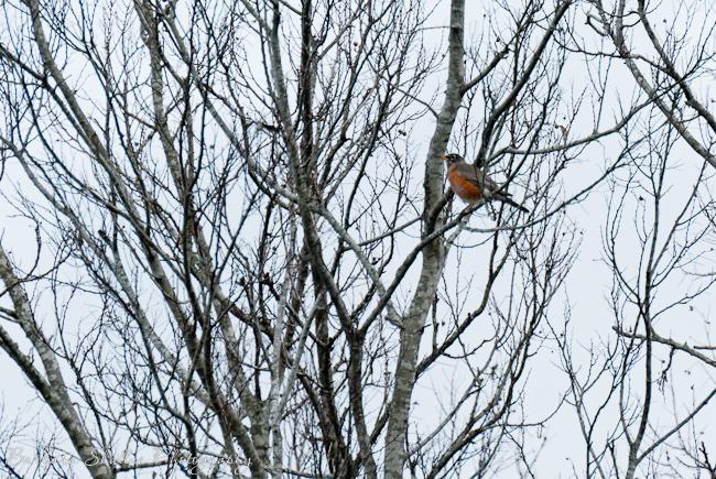 Robin feb 13-0013