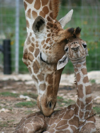 Baby-giraffes-at-Natural-Bridge-Wildlife-Ranch_151055