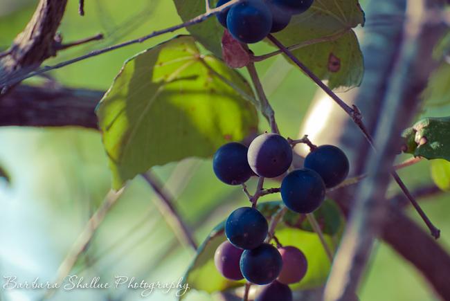 Grapes july 13-6