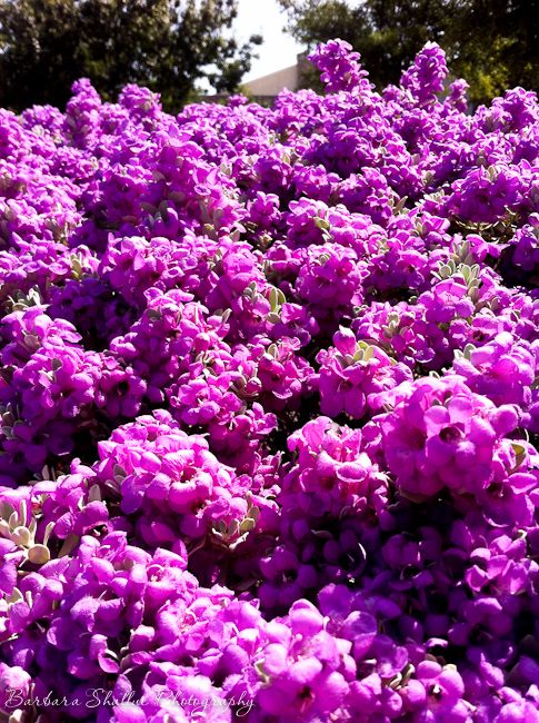 Purple sage aug 13 -1