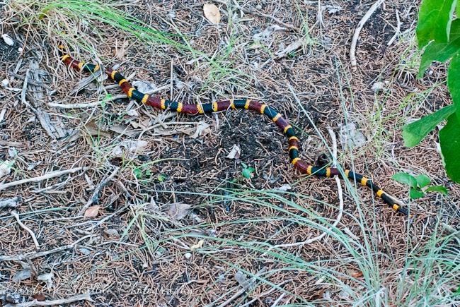 Coral snake july 13-35
