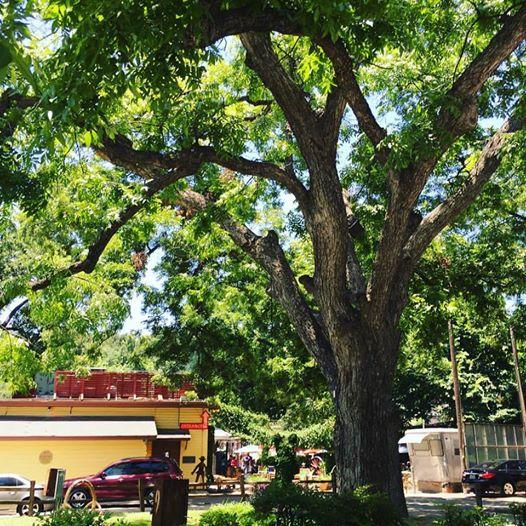 Shady Grove tree