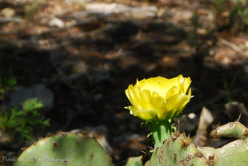 Cactus flower-0131