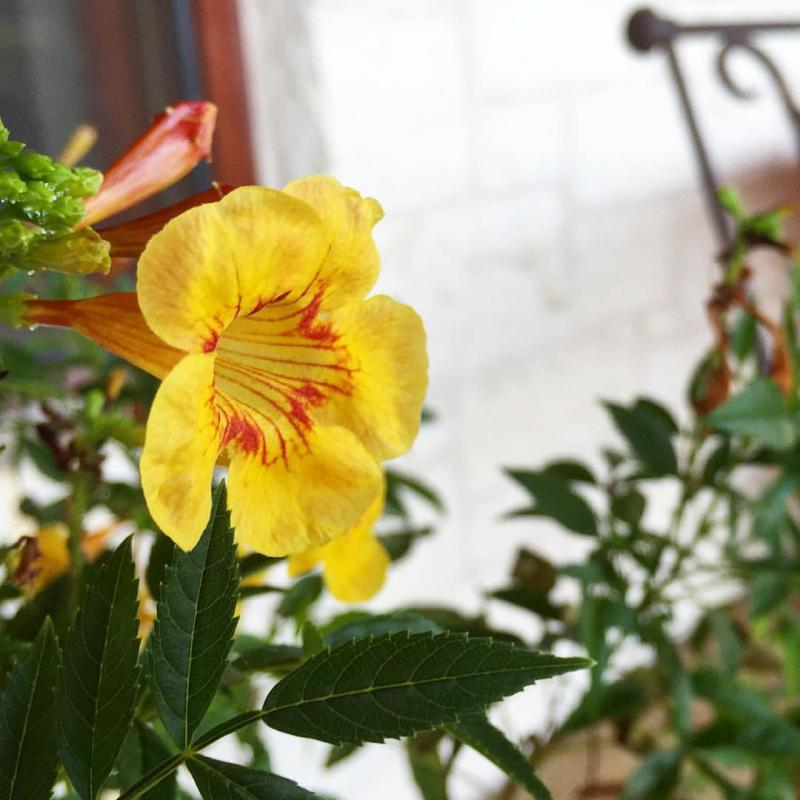 Yellow hummingbird flower